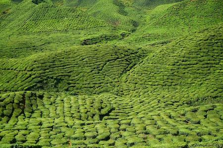 Plante brûle graisse efficace : le thé vert.